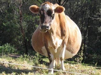 Смешные животные, чья беременность превратила их в неваляшек