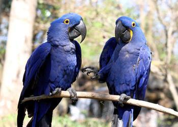 Рекордсмены среди птиц – самый большой попугай