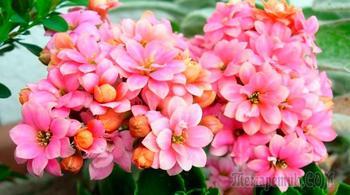 Цветущий каланхоэ: уход в домашних условиях