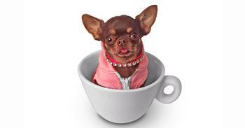 «Милая собачка… Дайте две!»: самую маленькую чихуахуа Милли клонировали уже 49 раз