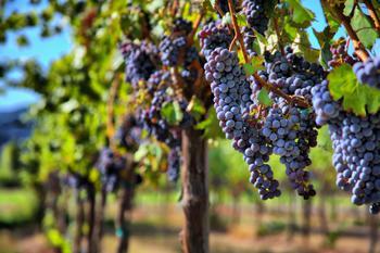 Виноград Голубок: описание сорта, посадка, выращивание и уход