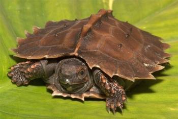 Самые причудливые виды черепах