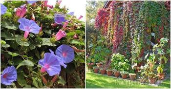 11 растений, которые превратят забор в произведение искусства