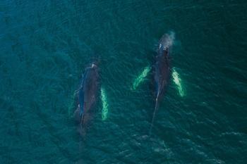 Когда десятки китов заплыли в прибрежные воды небольшого канадского городка, местный фотограф взял дрон и сделал захватывающие кадры