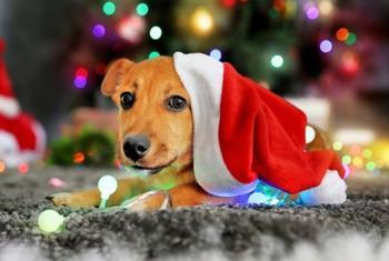 Год желтой собаки - все о символе 2018 года
