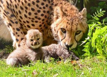 Рассказы о зверятах: как называется детеныш гепарда