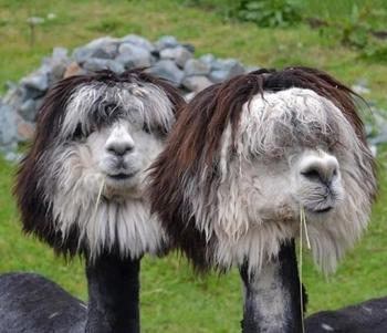 Бритые альпака ─ это то, что вам нужно увидеть прямо сейчас