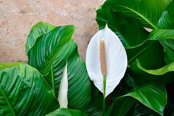 Цветок «Женское счастье»: приметы и суеверия о спатифиллуме