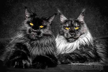 Мэйкуны — невероятные коты. Царь зверей в миниатюре!