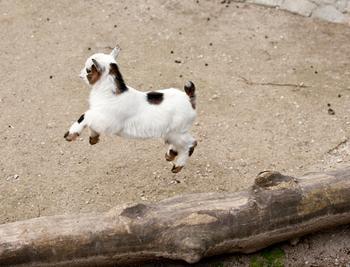 29 фотографий супер очаровательных и непоседливых козлят