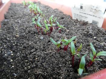 Посадка свеклы семенами и через рассаду в открытый грунт
