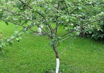 Как правильно сажать саженцы плодовых деревьев весной