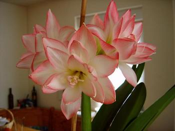 Амариллис: цветение, уход в домашних условиях