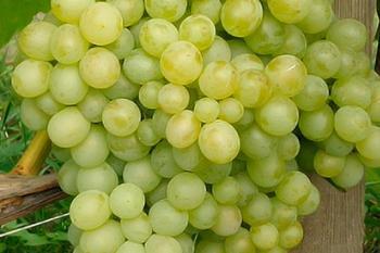 Ранние и ультраранние сорта винограда: описание, уход, отзывы