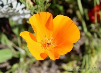 Как вырастить на дачном участке цветы эшшольции