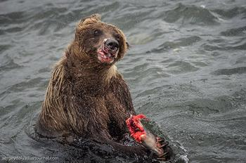 Медвежья рыбалка на заповедном кордоне