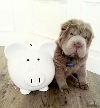 Tonkey – щенок шарпея, которого трудно отличить от плюшевого медвежонка