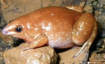 В Амазонии открыты три новых вида лягушек, один из которых назван «зомби»