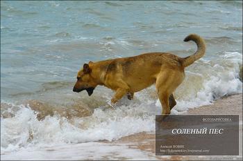 Фотозарисовка.  Солёный пёс