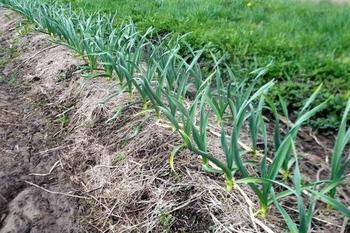 Какая почва нужна для чеснока и как подготовить грядки для посадки