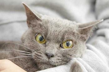 """Шамо - самая """"угрюмая"""" кошка в мире"""