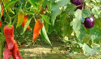 Лунный календарь 2020: выращивание перца и баклажанов