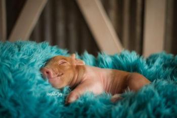 Милые фотографии новорождённого поросёнка