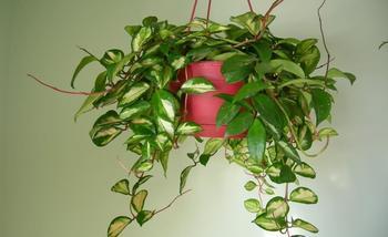 Размножение хойи черенками в домашних условиях — правила посадки ухода