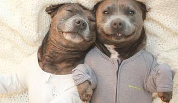 Эти очаровательные братья-бультерьеры сделают ваш день намного лучше!