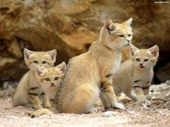 Бархатные коты