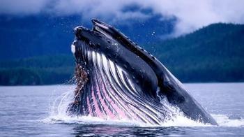 Чем сердце кита удивило учёных?