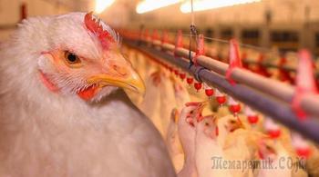 Экспорт продукции птицеводства из России впервые превысит ее импорт