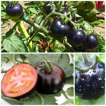 Сорта чёрных томатов