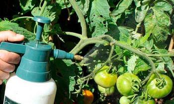 Для чего нужна внекорневая подкормка томатов: когда и чем подкармливать помидоры