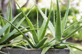 9 растений, которые выделяют кислород даже ночью