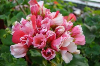 Герань тюльпановидная: лучшие сорта и правила выращивания из семян