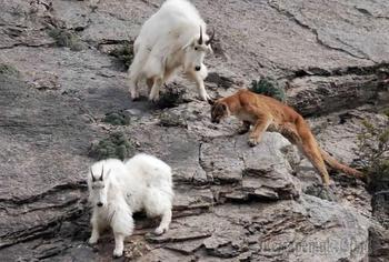 22 фотографии о том, что горные козлы бесстрашные животные