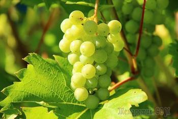 Виноград Кеша – особенности выращивания и уход