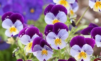 Выращивание цветов Анютины глазки из семян, когда сажать и как ухаживать
