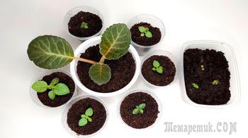 Выращивание ГЛОКСИНИИ из семян. Первая пикировка