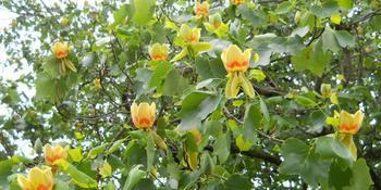 Растение Лириодендрон тюльпановый с описанием и фото - как посадить, выращивание и уход