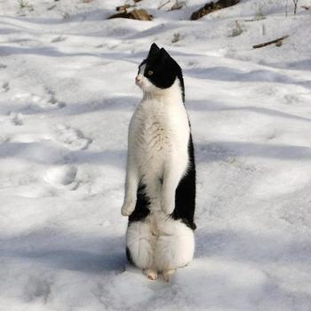 Кошки, которые думают, что они пингвины