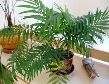 Хамедорея: особенности пальмы, популярные виды, правила посадки и ухода