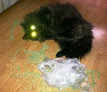 Эти кошки явно переборщили с кошачьей мятой!