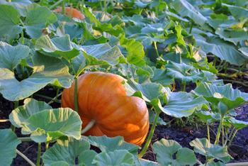 Разбираемся с причинами пожелтения листьев у тыквы и спасаем культуру