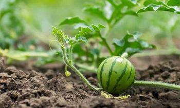Как нужно прищипывать арбузы: схемы формирования в теплице и открытом грунте