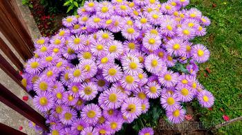 Цветы Сливницы