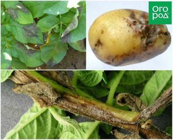 Чем болеет картофель: определяем по урожаю