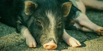В Великобритании проведут первую операцию по трансплантации почки от ГМО свиньи человеку