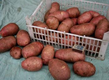 Выращивание картофеля Ред Скарлетт – более 300 кг с одной сотки